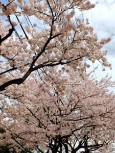 桜20160407 (2)