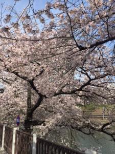 桜20160407