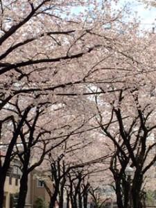 桜20160407 (3)
